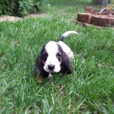 Basset Hound   A Definitive Ranking Of The Cutest Puppies