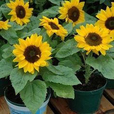 SUNNY SMILE  Sunflower Seeds    Giant 5 inch blooms top dwarf plants which can be grown in 4-6 inch pots. In small pots Sunny Smile puts all its energy into producing a single jumbo bloom. Planted in large containers or in the ground Sunny Smile has room to branch and produces 4 or 5 gorgeous golden yellow beauties. 12-15 inches tall, day length neutral, pollen-free, blooms in 55 days