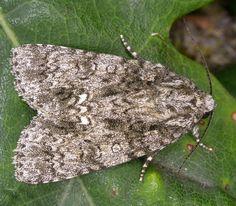 The Moths of Suffolk - 2289 Knot Grass, Acronicta rumicis, (Linnaeus, Linnaeus, Mothman, Grass, Insects, Butterfly, British, Butterflies, Grasses, Herb