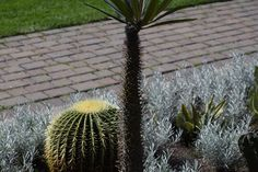 Enjoy this Photo Gallery of Cactus Pictures. Cactus Pictures, Boom Beach, High School Sweethearts, Marry Me, Cactus Plants, Photo Galleries, Gallery, Flowers, Roof Rack