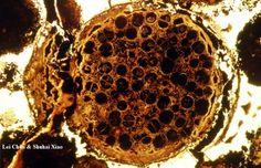 Los nuevos y extraños microfósiles esferoidales encontrados en la formación Doushuanto china de 600 millones de años (Lei Chuo, 2014)