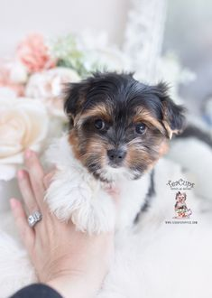 parti-yorkie-218-a Micro Teacup Yorkie, Teacup Yorkie For Sale, Yorkies For Sale, Yorkie Puppy For Sale, Toy Yorkie, Biewer Yorkie, Wire Fox Terrier Puppies, Toy Yorkshire Terrier, Airline Approved Pet Carrier