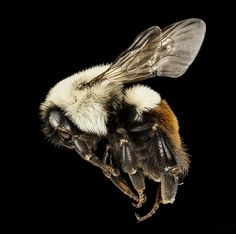 Climate change could increase the risk of extinction for the bees, which are already threatened by pesticides and habitat loss. Photography Set Up, Macro Pictures, Bees And Wasps, Climate Change, Maryland, Black Backgrounds, Color Patterns, Habitats, Photo Art