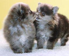 Blue Merle Pomeranian #Dog #Puppy #Puppies Pom Poms