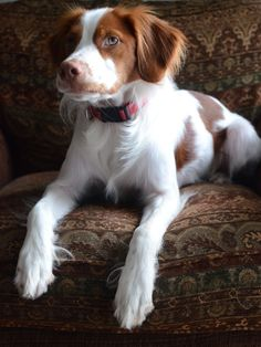 Brittany Spaniel! My family had one when I was growing up and his name was Dan. Great pheasant hunter and he had so much energy!