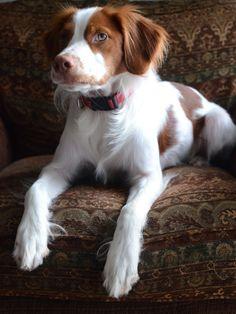 #Brittany Spaniel Puppie