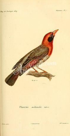 ploceus melanotis      ...
