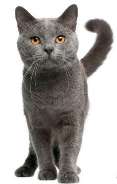 Op deze pagina vind je informatie over het karakter, uiterlijk, sociale aanleg, verzorging en opvoeding van de Chartreux.