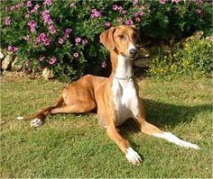 Perro Azawakh http://www.mascotadomestica.com/sin-categoria/perro-azawakh.html