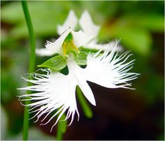 Singular especie de orquídea (Habenaria radiata) simula la forma de una garza o garceta en vuelo con increíble realismo. Son endémicas de China, Japón, Corea y Rusia. Es terrestre, con un tallo delgado que posee de 3 a 7 hojas. Su flor es sencillamente fascinante.