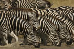 Zebras at a Watering Hole, Mkgadigadi, Botswana, 2009 Christie's Boundless: 125 Years of National Geographic Photography www.christies.com/natgeo Estimates starting at $400