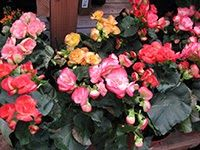 List of 19 terrarium plants. Pictured: Begonia plants in full bloom.