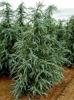 Cedrus deodara ' Sanders Blue ' Blue Himalayan Cedar:  Cedrus deodara ' Sanders Blue ' Blue Himalayan Cedar with a medium growth rate and a upright skinny shape that will grow taller than wide. New growth is powder blue and has a graceful drooping form. Older growth slowly darkens with age to a blue-green which really shows off the new tips. Soil should be loose and well drained. At full maturity may reach 40'.