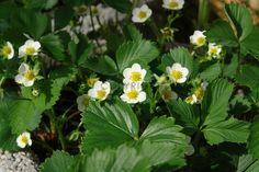 Gerade gefunden auf http://shop313566.fineartprint.de Erdbeerblüte, Natur, Pflanzen, Landschaft, Blumen, Blüten, Bauerngarten, Garten