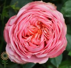 Romantic Antike Roses Pink Garden, Garden Roses, Fall Color Palette, Diy Wedding Flowers, Coral Color, Event Decor, Wedding Season, Colorful Flowers, Bloom