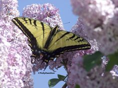 Two-Tailed Swallowtails are found west of the Mississippi. Photo by Molly Hamilton