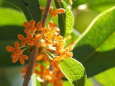 夏が終わり、秋の訪れを感じる9月下旬から10月頃にひっそりと咲き始めるキンモクセイ(金木犀)。今回はその甘く優しい仄かな香りを、長く楽しめる方法とキンモクセイ(金木犀)のお茶、『桂花茶』のいれかたをご紹介します。自分の好きな方法でキンモクセイ(金木犀)の香りを楽しんでみてくださいね。