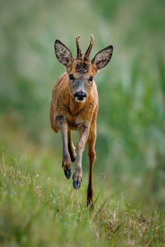 Young roe deer Kevin Pigney