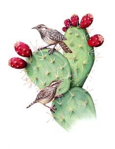 "jbatesart: "" Two Cactus Wrens (Campylorhynchus brunneicapillus) perched on some pads of Prickly Pear Cactus (Opuntia littoralis). Colored pencil on drafting film. Cactus Drawing, Cactus Painting, Cactus Art, Cactus Flower, Kaktus Illustration, Watercolor Illustration, Watercolor Flowers, Watercolor Art, Posters Vintage"