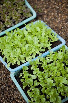 Aussaat und Anzucht von Salat