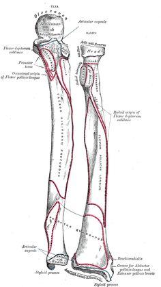 The Ulna - Human Anatomy