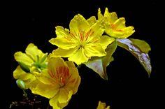 L'ochna est le symbol du Tet (Nouvel An lunair) au Sud du Vietnam. Son jaune représente, selon notre conception, la prosprérité, la joie et de la chance.
