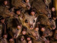IMG_5846 | Egyptian fruit bats | Andy Mackay | Flickr