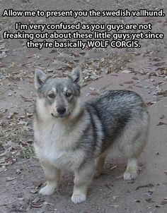 Meet The Swedish Vallhund. The level of want is over 9000