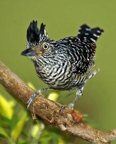 choca-barrada -   Thamnophilus doliatus (Linnaeus, 1764) --{ Birds }--