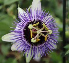 Passiflora 'Silly Cow'