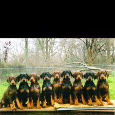 Doberman puppies  LOVE THESE PUPPIES