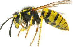 How To Get Rid Of Bugs With Essential Oils - Grapes and Splendor Vespa, Yellow Jacket Wasp, Wasp Nest Removal, Bites And Stings, Flea Spray, Pest Control Services, Bug Control, Hornet, Bugs