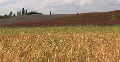 454196506-grano-duro-campo-d'orzo-coltivazione-di-frumento-toscana
