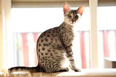 Egyptian Mau Kitten   Cattery van de Schooiertjes   The Netherlands