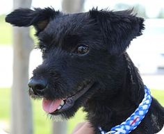 Hi my name is TRIXIE and I'm an #adoptable young female #Terrier mix (maybe some Spaniel). I'm a super small girl (8.5 lbs) so no small children households please (I do have my shots and am fixed). Young dogs need a bit more attention and patience early on so make sure you're ready to make that commitment if you are looking at me. Miss TRIXIE is located in #Cedar Park #Texas so come by & fill out an application.  Adopt fee is $250.00
