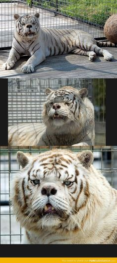 Kenny does not have down syndrome. It makes me sick that this picture is on websites for humor. He has many birth defects from being inbred. Breeders want more white tigers and will go to extremes to have more of them. Poor Kenny is the result of  a litter. He struggles every day to live happily. Do not support this form of breeding!