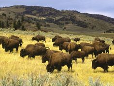 Bison Yellowstone National Park Wyoming ~ Love love love!!!  Oh give me a home....