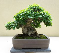 Korean hornbeam bonsai