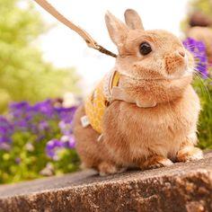* * * おはようございます⍢⃝ こはるん朝からベッドの上を 何度もダッシュしてて目が覚めたー 最近お腹空いてんのかなー? ごはんの時間の少し前から あるゆる手段を使って おきておきて!と 起こしにかかってくる笑 . 写真は前のうさんぽの時の  #うさぎ #ふわもこ部 #ネザーランドドワーフ #instagood #netherlanddwarf #instaanimal #rabbit #rabbitstagram #lapin  #bunny #bunnystagram #lumixgm1 #愛しのこはる