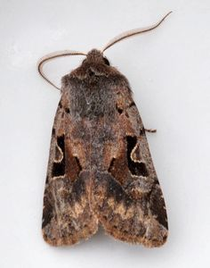 Hebrew Character (Orthosia gothica) 1.