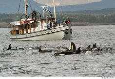 Whale watching in Puget Sound, WA.  A must see!