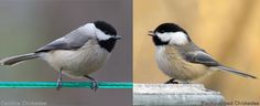 Warming Temperatures Are Pushing Two Chickadee Species—and Their Hybrids—Northward