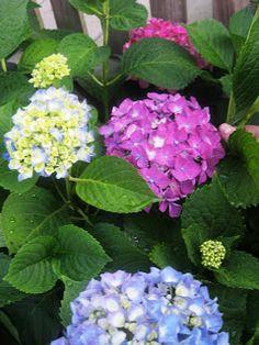 TIP GARDEN: Thrifty Gardening: How to Root Hydrangeas From a Cutting.