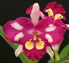 Inter-generic Orchid-hybrid Blc: BrassoLaelioCattleya Chinese Beauty 'Orchid Queen'