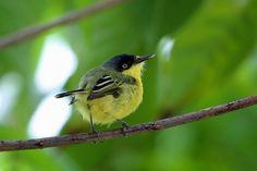 Common Tody-Flycatcher or Black-fronted Tody-Flycatcher (Todirostrum cinereum) , Brazil