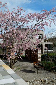 Ein neuer Garten wirkt wie eingewachsen – dank eines Solitärgehölzes. Sidewalk, Plants, Cherries, Garten, Side Walkway, Sidewalks, Planters, Pavement, Walkways