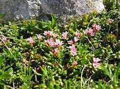 Sielikkö - Krypljung - Alpine azalea