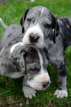 Hugo & Ziggy cuteness at the Service Dog Project. These Great Dane babies are enjoying their very first days outdoors.