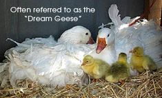 <3 Sebastopol Geese...Wonderful to raise-- these are what I want!!! If I get any - these are a must have!! I fell in love the first time I saw a fb friends video of hers!!