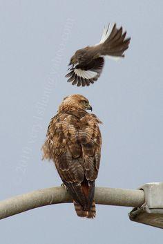 mocking bird attack